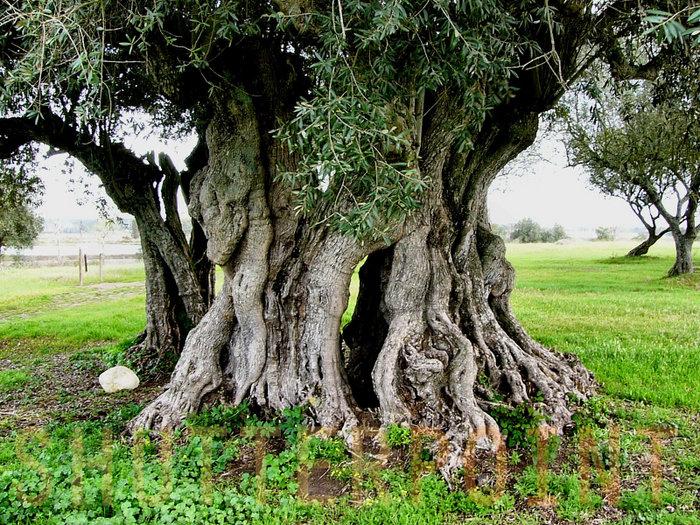 ユダヤ人はオリーブの木について語る